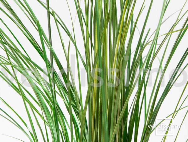 Ginerium grass2