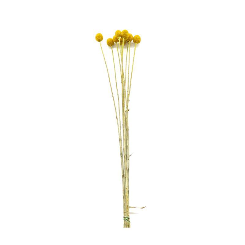 craspedia yellow