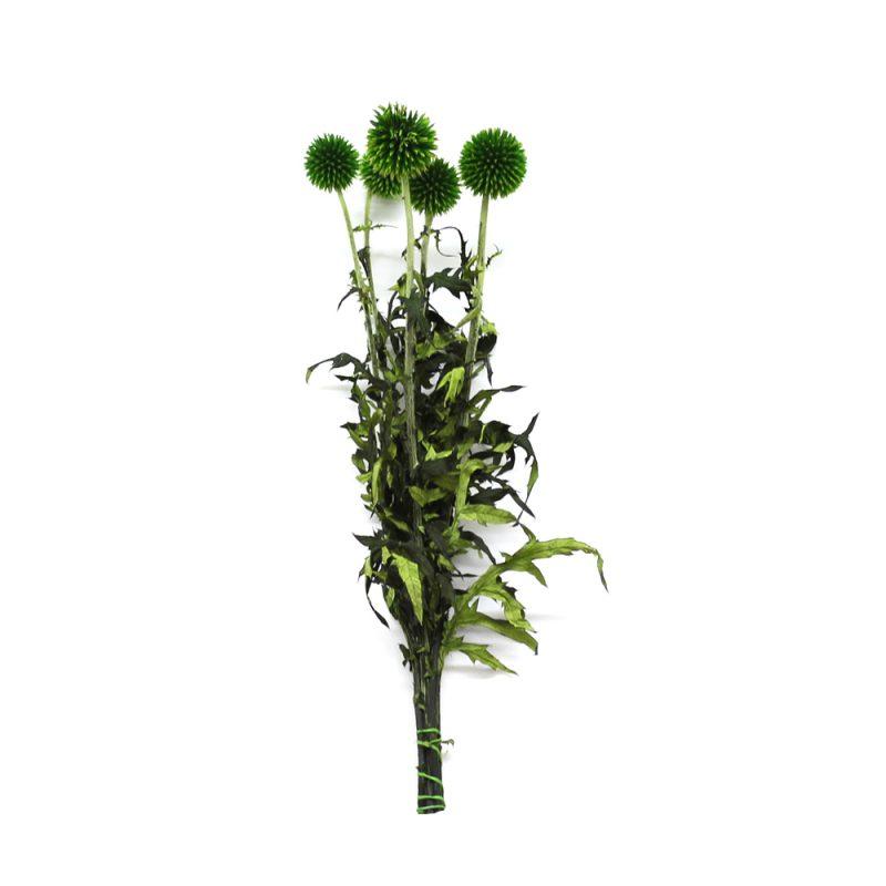 echinops green