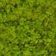 Lichen - Spring Green 55