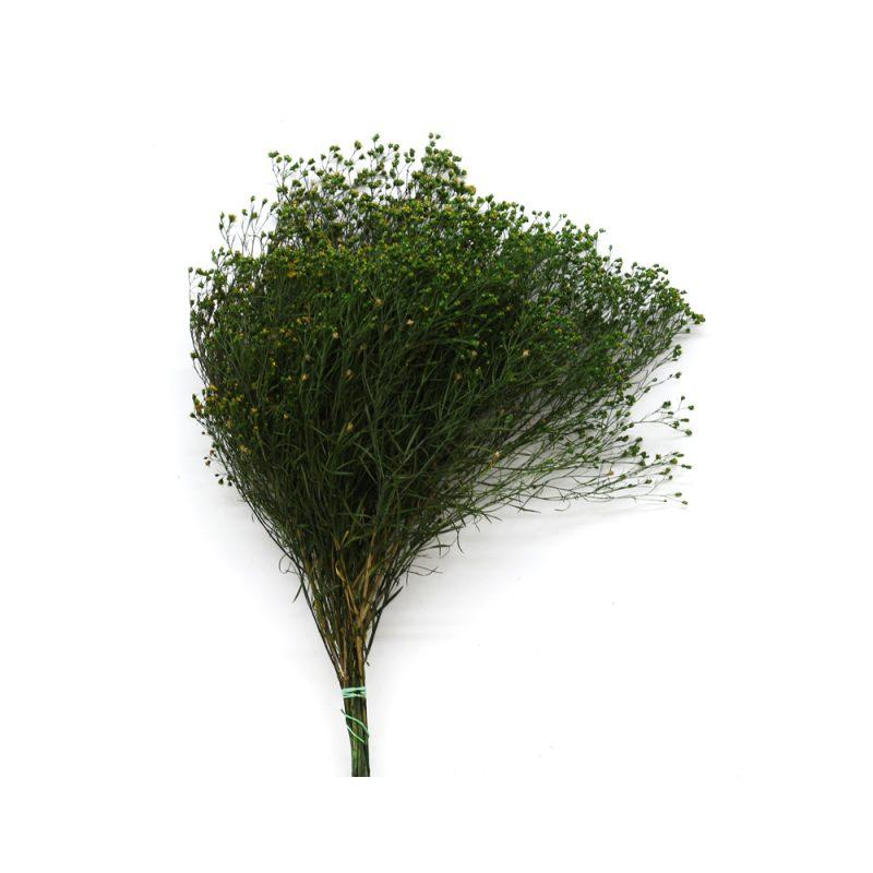 broom fleuri green